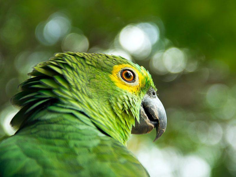 _pappagallo